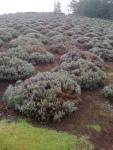 Maui Lavendar Fields